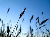 Wheat Grain 2