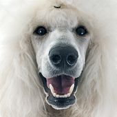 picture of standard poodle  - white Standard Poodle in front of white background - JPG
