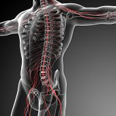 image of spinal cord  - 3d rendered illustration of the male nervous system  - JPG