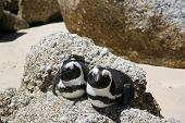 image of jackass  - Jackass or African Penguins  - JPG