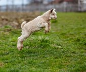 picture of baby goat  - Adorable baby goat jumping around on a pasture - JPG