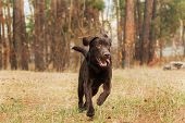picture of labradors  - chocolate labrador running in the woods,