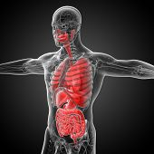 image of respiratory  - 3d render medical illustration of the human digestive system and respiratory system  - JPG