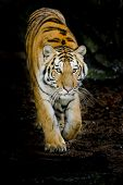 stock photo of sundarbans  - Closeup Tiger animal wildlife on black background - JPG