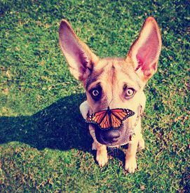 picture of toy dog  -  a cute dog in the grass at a park during summer with a butterfly on his or her nose toned with a retro vintage instagram filter effect app or action - JPG