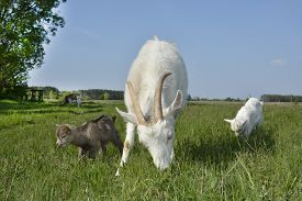 image of baby goat  - Spring in the village of goat grazing in the meadow with two small goats gray and white - JPG
