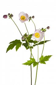 foto of windflowers  - blooming Anemone hupehensis or windflower plants isolated on white background - JPG