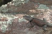 Arizona Spiny Lizard