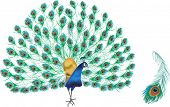 illustration with peacock and feather isolated on white background