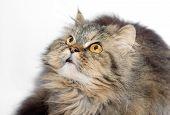 Weibliche Kreuzung aus Sibirien und persische Katze