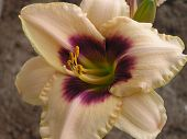 Daylily Hybrid:  Blueberry Candy