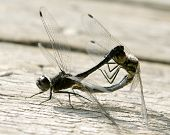 picture of promiscuous  - The insects are keen on pairing on an old bench - JPG