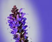 picture of clary  - Macro purple may knight salvia nemorosa Meadow Sage - JPG