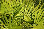 picture of saw-palmetto  - Fronds of saw palmetto  - JPG