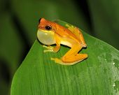 Yellow Hourglass Tree Frog, Costa Rica