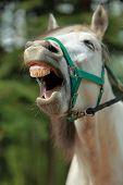 Pferd Gähnen