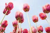 Постер, плакат: Красные тюльпаны стоящих перед голубое небо
