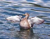 Gadwall Duck