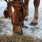 The Horse Eats Hay. Muzzle Horse Closeup. Horse Brown Suit. The Horse Has A Bridle, Blinders And A N poster