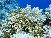 Colorful Coral Reef At The Bottom Of Tropical Sea, Fire Coral And Broccoli Coral, Underwater Landsca poster