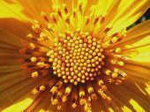 Wild Mountain Sunflower