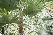 Coconut Palm Tree. Palm Leafs. Textured. Trunk Of The Palm. poster