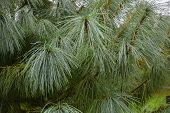 Water Drops On Long Pine Needles. Pine Branches In The Rain. poster