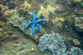 Blue Star Fish On Rustic Coral Reef Stone. Tropical Starfish Underwater Photo. Exotic Aquarium Anima poster