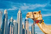 Dubai Camel On Skyscrapers Background At The Beach . Uae Dubai Marina Jbr Beach Style: Camels And Sk poster