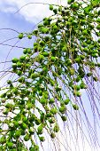 South Florida Green Acai Areca Berries On A Street Palm Tree. Bunch Of Palm Tree Green Fruit Haning  poster