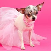 stock photo of pompous  - Tiny elegant Chihuahua dog - JPG