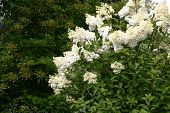 Blossoming, All In White Inflorescences A Hydrangea Bush.on A Background Big Bush Of A Hydrangea Ano poster