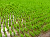 stock photo of ifugao  - Rice seedling field in Kiangan rice terraces Ifugao province Philippines - JPG
