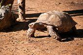 Abyssinian Tortoise.geochelone (testudo) Sulcata .