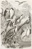 Grey Heron, Little Bittern, Black-crowned Night Heron and Great Egret. Created by Kretschmer and Illner, published on Merveilles de la Nature, Bailliere et fils, Paris, ca. 1878
