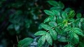 Wet Green Wet Leaves On Dark Background poster