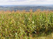 Field Of Maize In Worcestershire