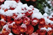 Red Flowers Are Covered With First Snow