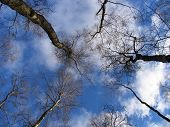 Looking Skyward Through The Trees poster