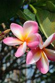 Frangipani Flowers Or Pink Flowers