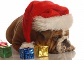 foto of scrooge  - english bulldog with christmas presents and scrooge expression - JPG
