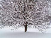 Tree In Snow