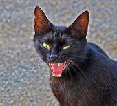 böse schwarze Katze
