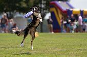 Dog Catches Frisbee And Hangs On