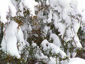 Eastern Red Cedar After Snowstorm