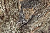 stock photo of wildcat  - Portrait of a leopard (Panthera pardus) resting on a tree in Serengeti National Park Tanzania