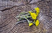 Fresh Coltsfoot Medical Flowers On Old Wooden Background