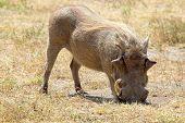 A Warthog Grazing