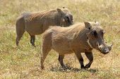 Couple Of Warthogs Walking