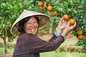 Portrait of smiling chinese asian woman worker at farm work gathering citrus oranges in agriculture